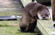 Otter sad.